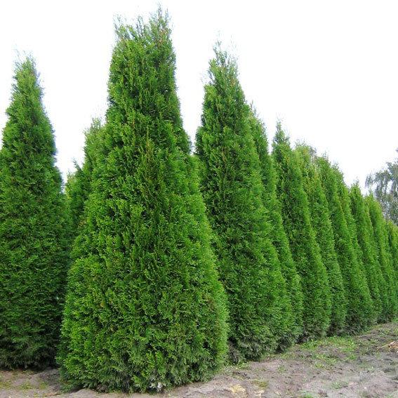 «КедровЪ ГрадЪ» | Туя западная «Смарагд» — изящное дерево ...