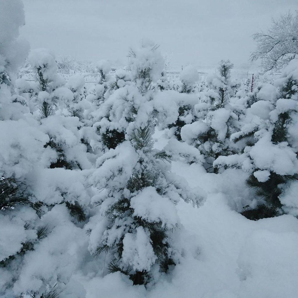 Зима кедр белореченск