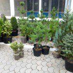 Саженцы хвойных растений