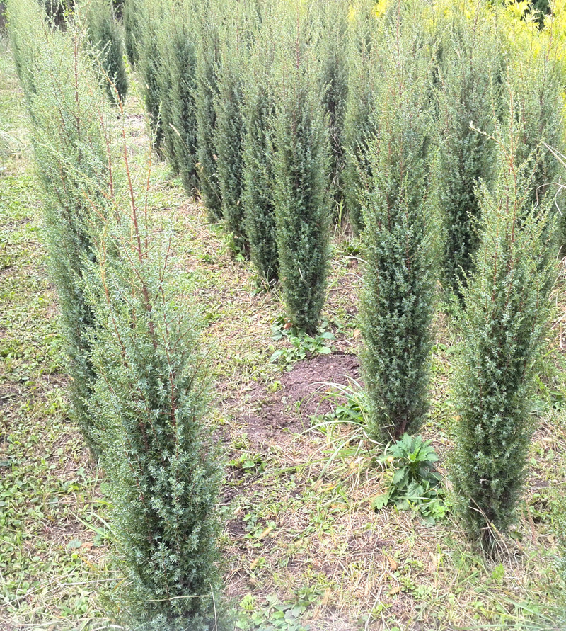 Можжеве́льник (лат. Juníperus)
