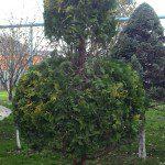 Обрезка декоративных и плодовых растений