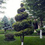 Декоративная обрезка хвойных растений