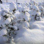 Сосна́ сиби́рская кедро́вая, Сиби́рский кедр (лат. Pínus sibírica)